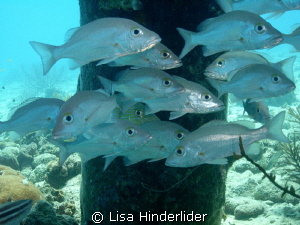 Snapper at the Salt Pier-Bonaire by Lisa Hinderlider 